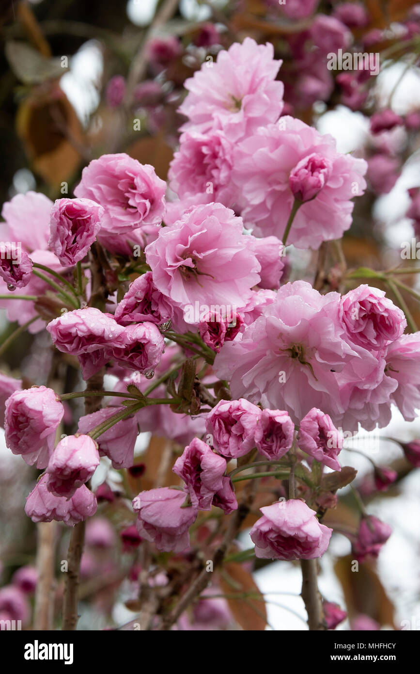 Beautiful Pink Flowering Cherry Blossoms With Double Flowers Pink