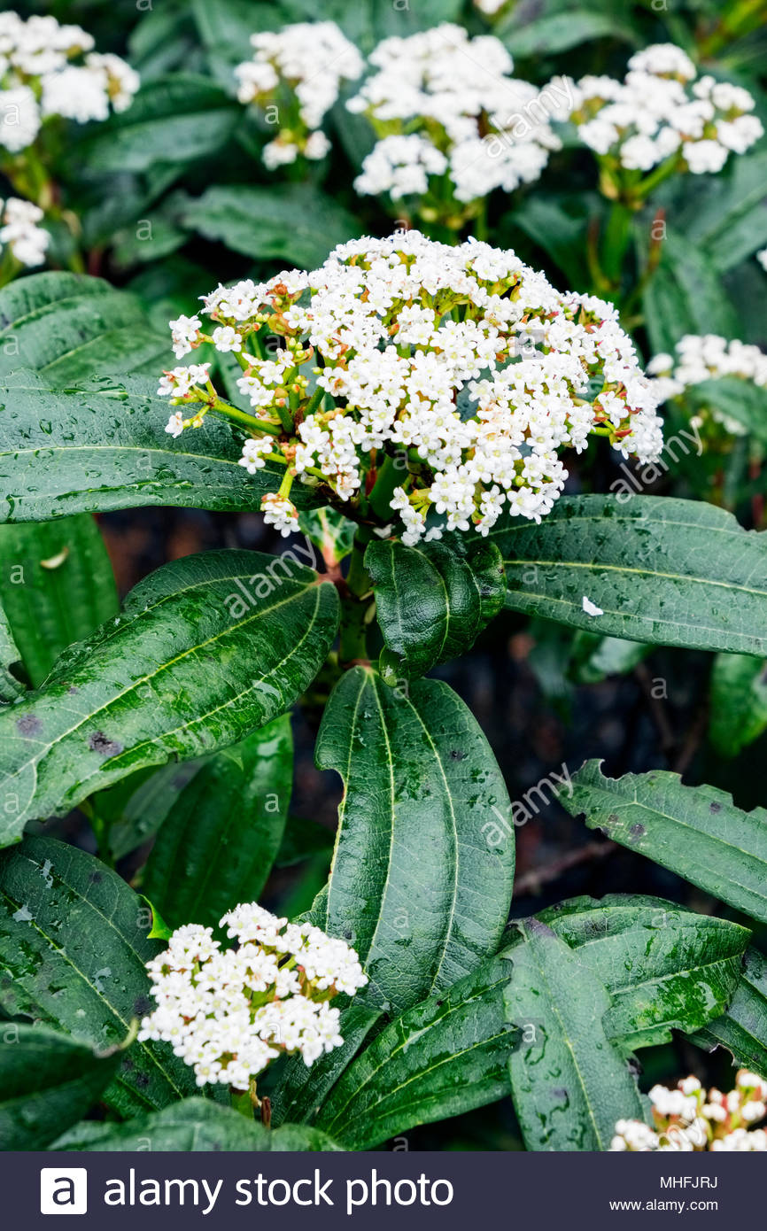 Viburnum davidii plant in late April, showing pest damage to leaves. Stock Photo