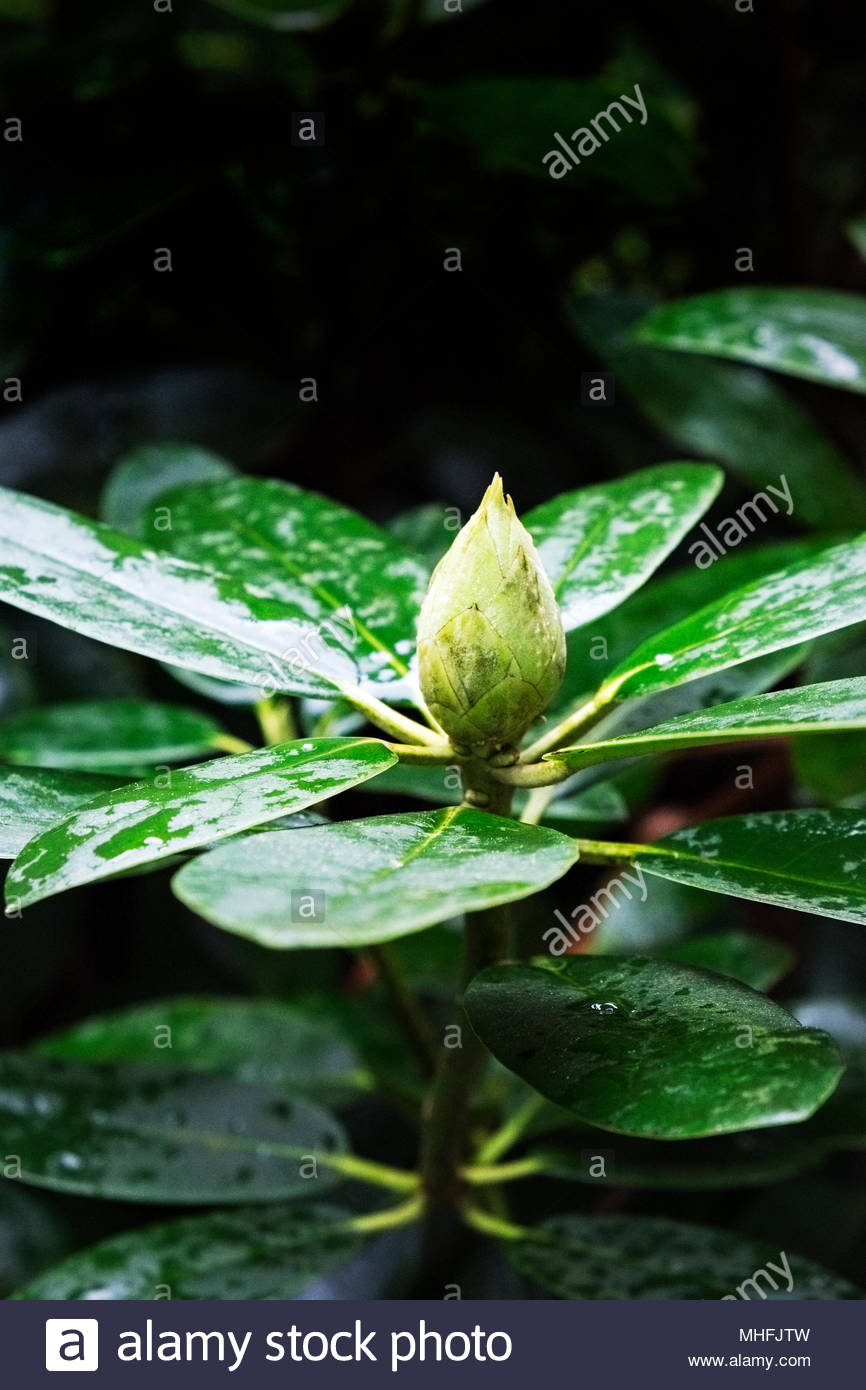 New spring growth on Rhododendron Catawbiense grandiflorum - Stock Image