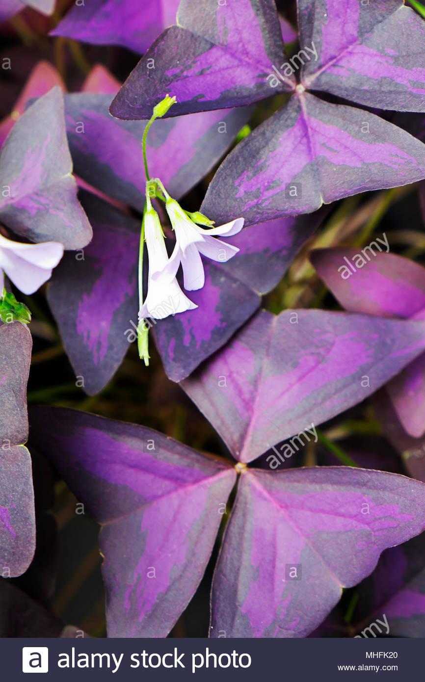 Threeleaf purple shamrock — Oxalis triangularis — with blossoms. Stock Photo