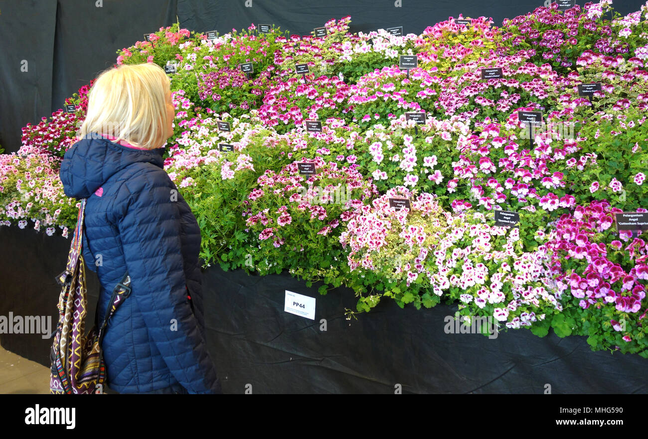 Lone Blond Woman Looking At A Display Of Pink Pelargoniums At
