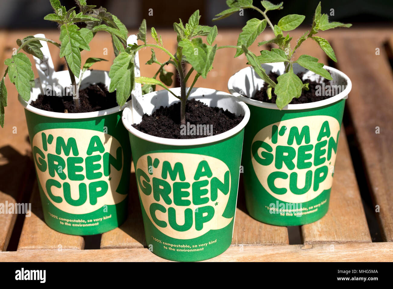 100% compostable Green recyclable coffee cups with tomato plants made with no plastic UK - Stock Image