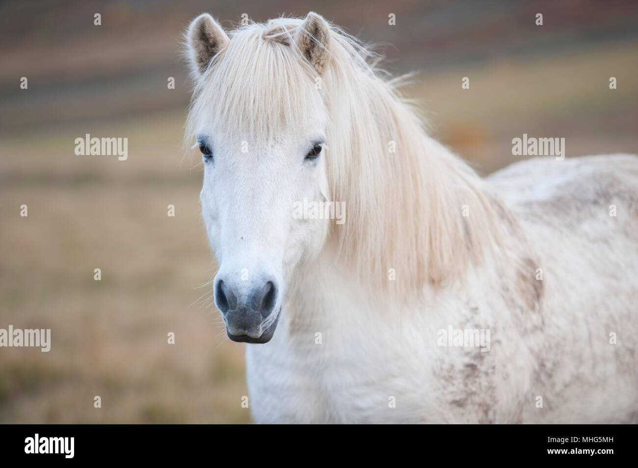 White Icelandic horse in a field - Stock Image