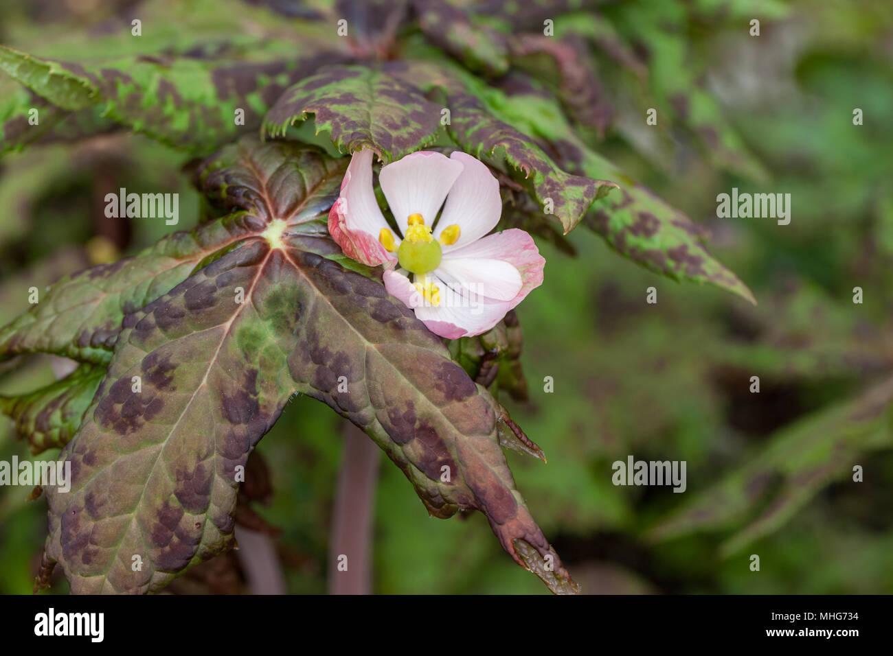 Himalayan May Apple, Kinesisk fotblad (Podophyllum hexandrum var chinensis) - Stock Image