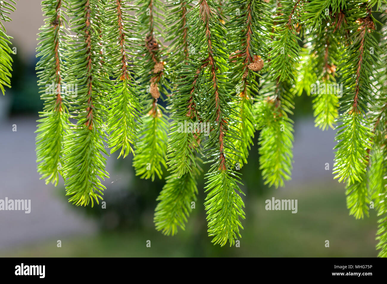 Norway Spruce, Gran (Picea abies) - Stock Image
