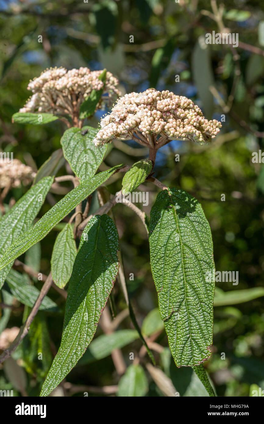 Wrinkled viburnum, Rynkolvon (Viburnum rhytidophyllum) - Stock Image