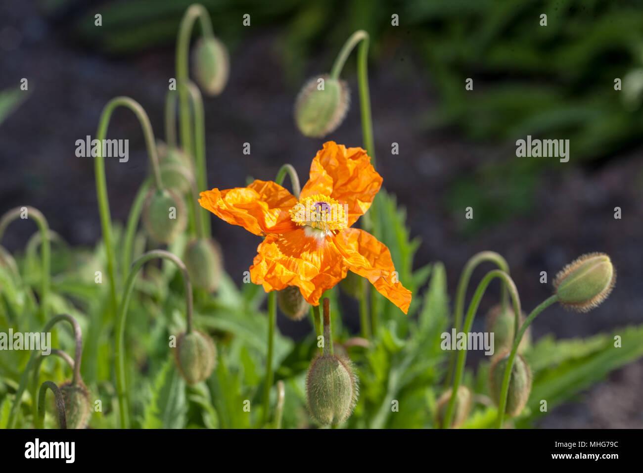 Armenian Poppy, Tegelvallmo (Papaver lateritium) - Stock Image