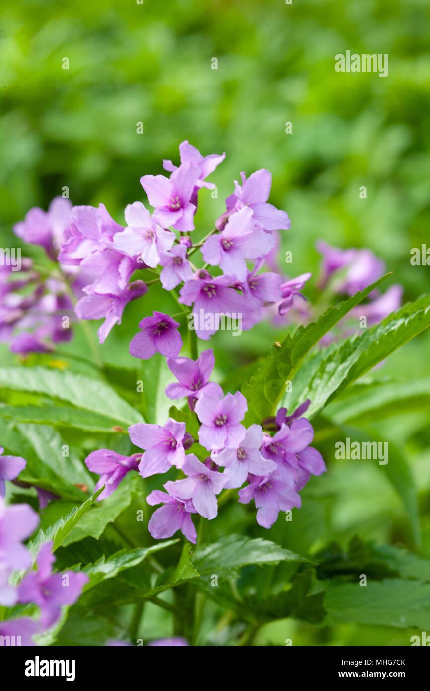 Showy Toothwort, Fingertandrot (Cardamine pentaphyllos) - Stock Image