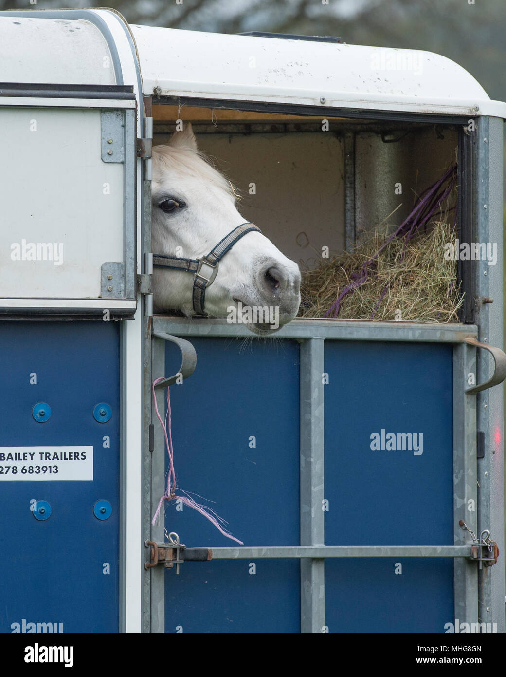 pony in a horse trailer - Stock Image