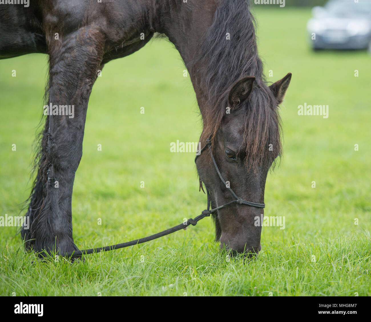 tethered horse grazing - Stock Image