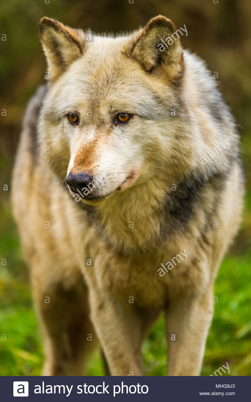 The UK Wolf Conservation Trust wolves roam their enclosures in Beenham, Berkshire during a bright overcast day 0n 12 January 2017 Stock Photo