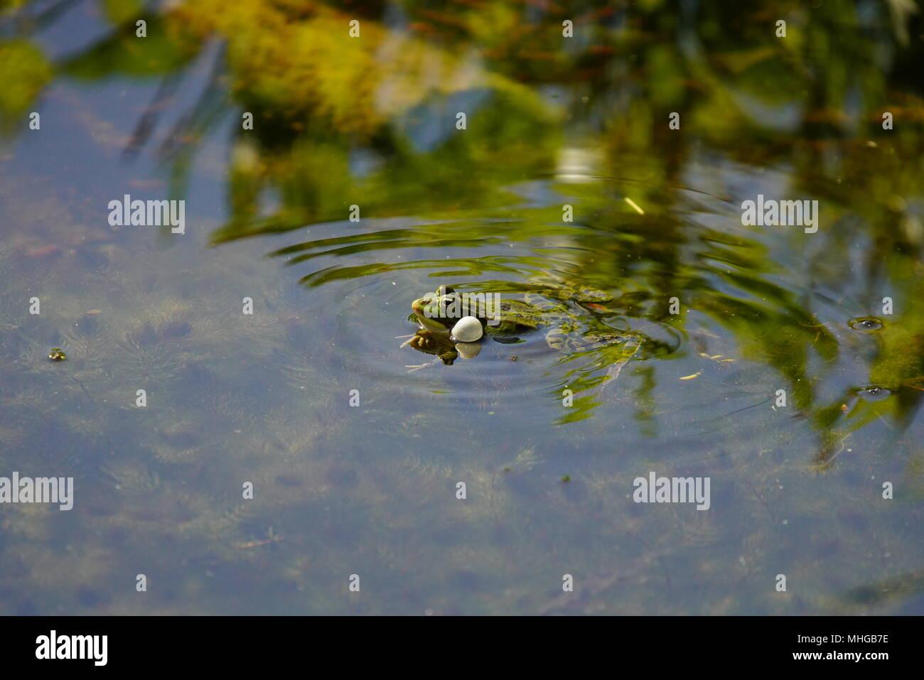Edible frog (Pelophylax kl. esculentus), Lange Erlen, Switzerland. - Stock Image