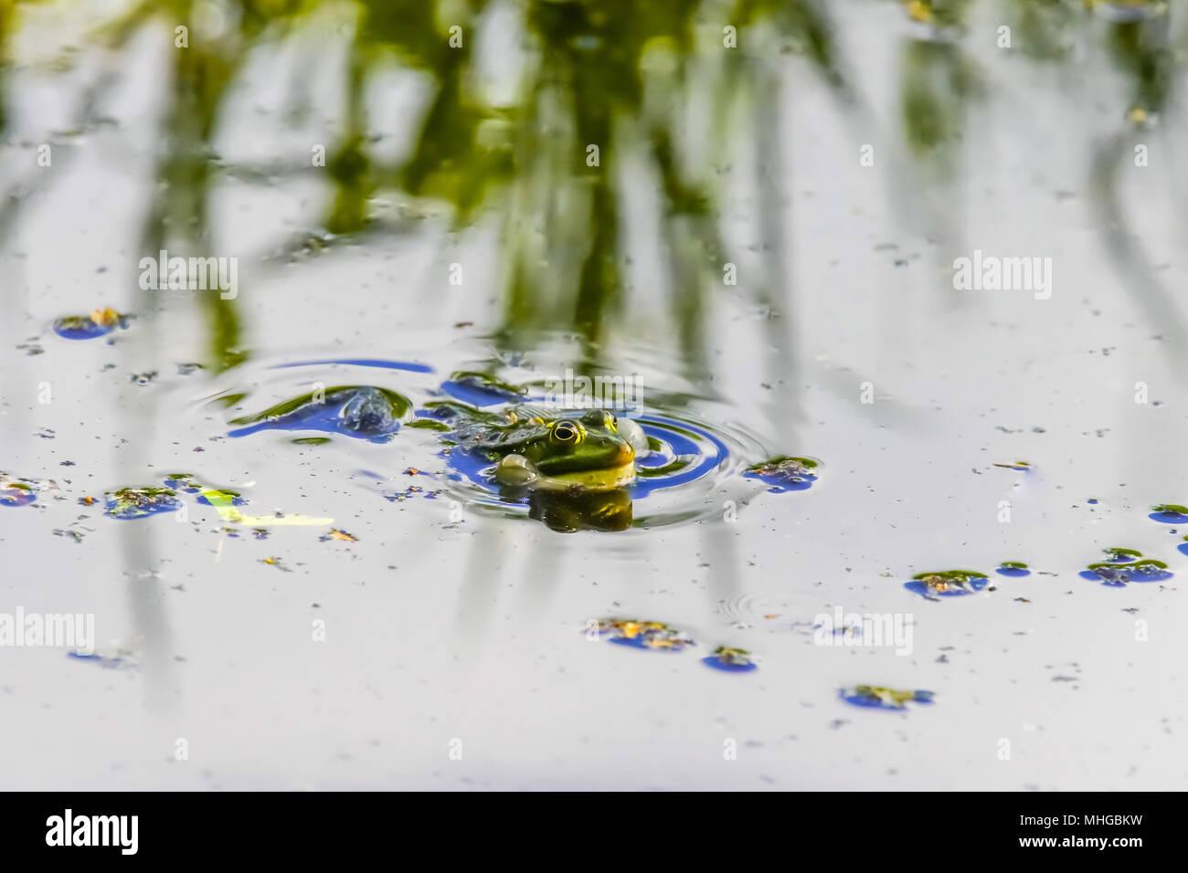 Edible frog (Pelophylax kl. esculentus), Lange Erlen, Switzerland. Stock Photo