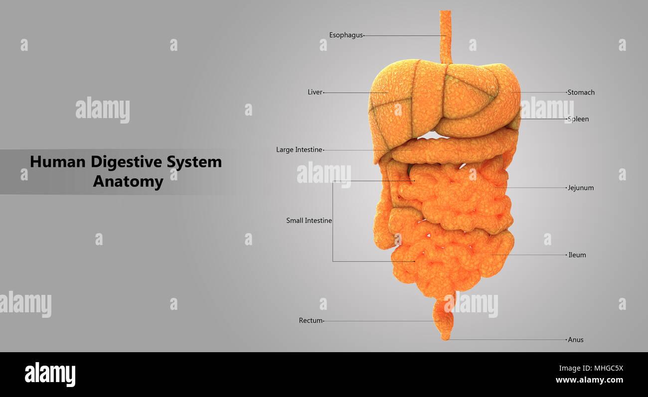 Human Digestive System Large And Small Intestine Anatomy Anterior