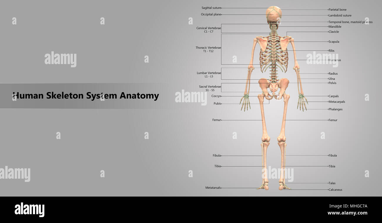 Human Skeleton System With Label Design Anatomy Posterior View Stock