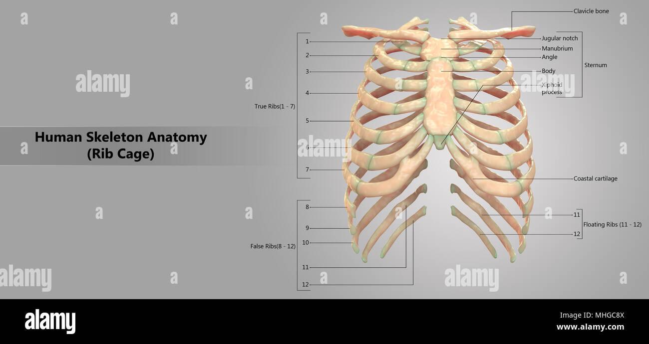 Human Skeleton System Rib Cage with Label Design Anatomy Anterior ...