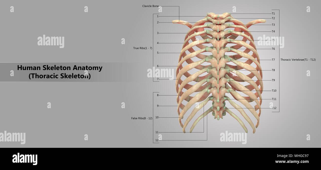 human skeleton system thoracic skeleton with label design anatomy posterior  view - stock image