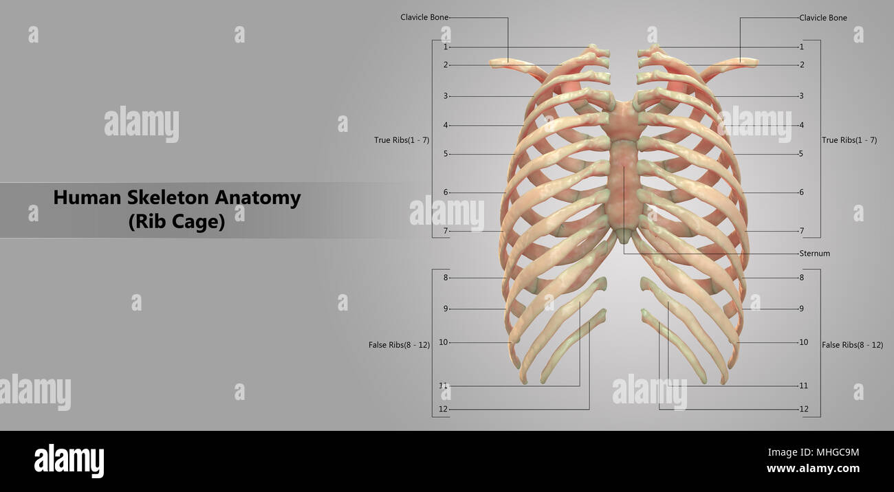 Human Skeleton System Rib Cage with Label Design Anatomy Posterior ...