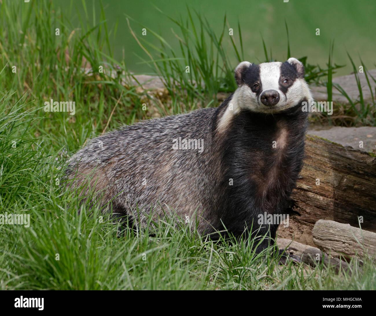 Eurasian Badger (meles meles) - Stock Image