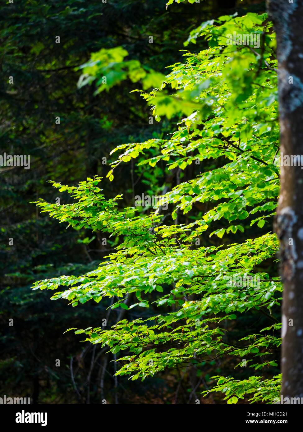 Sunlit Green tree branches - Stock Image