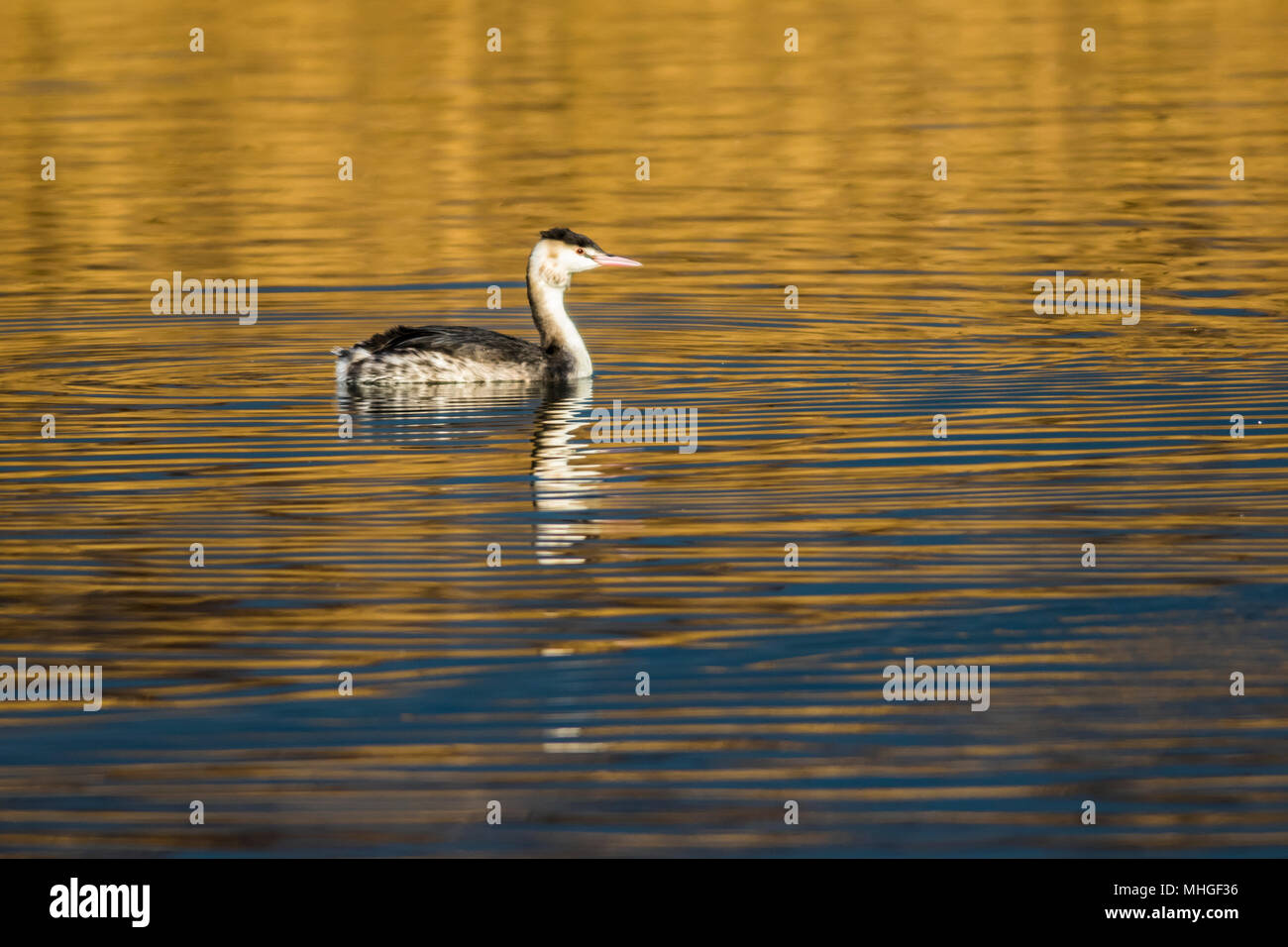 A great crested grebe on a sea near Dillingen - Stock Image