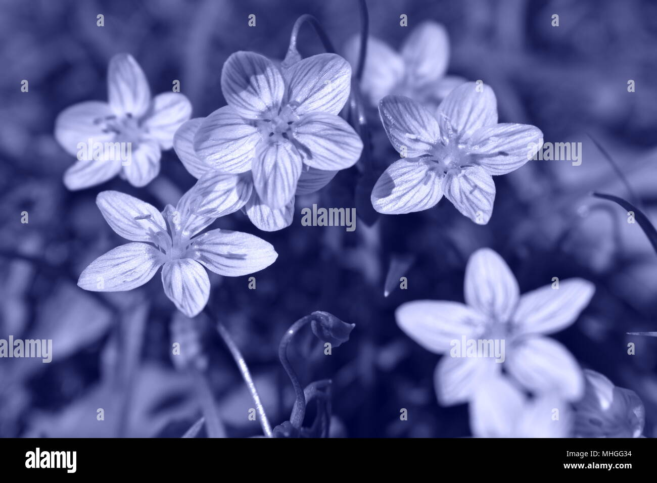 Dainty purple wildflowers, commonly called Eastern Spring Beauty, growing in a lawn in the early Springtime.  Claytonia Virginia. Black & white image. Stock Photo