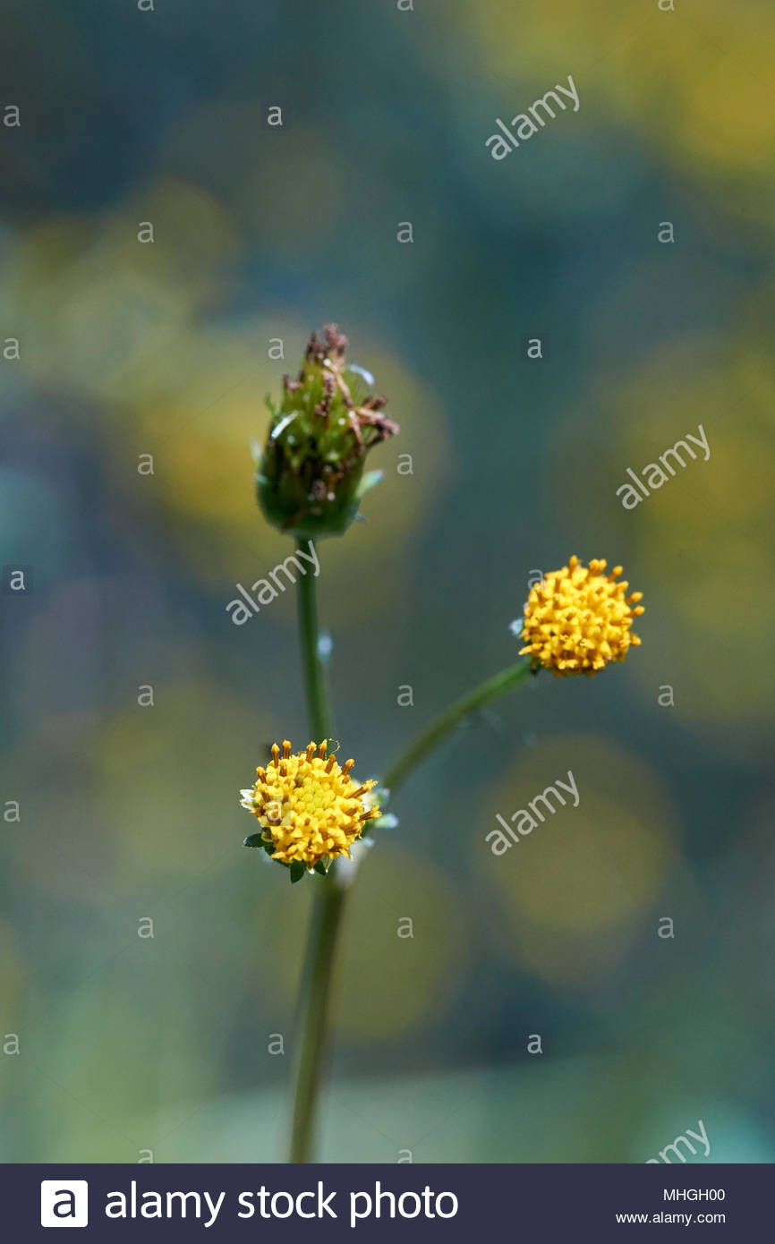 A macro image of flowering heads of a Farmer's Friend plant(Bidens pilosa) - a widespread member of the aster family - with yellow and green bokeh. - Stock Image