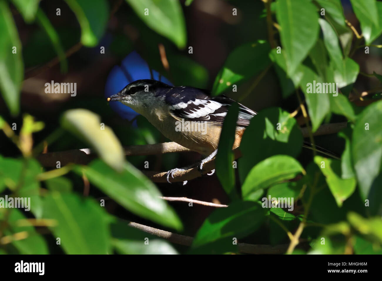 An Australian, Queensland Male Varied Triller, Lalage Leucomela hiding in a thick Bush eating a Grub - Stock Image