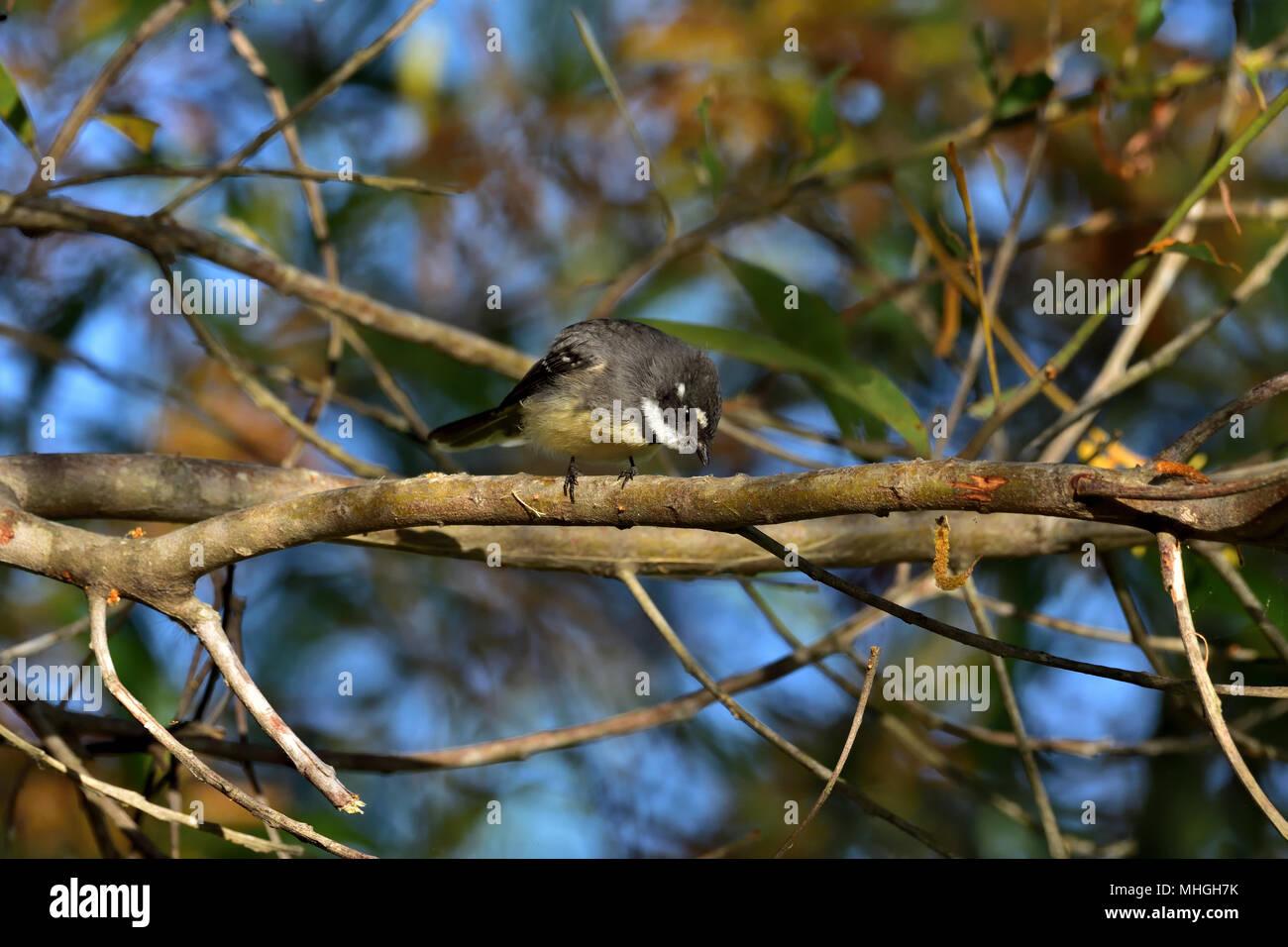 An Australian, Queensland Grey Fantail, Rhipidura fuliginosa looking for food Stock Photo