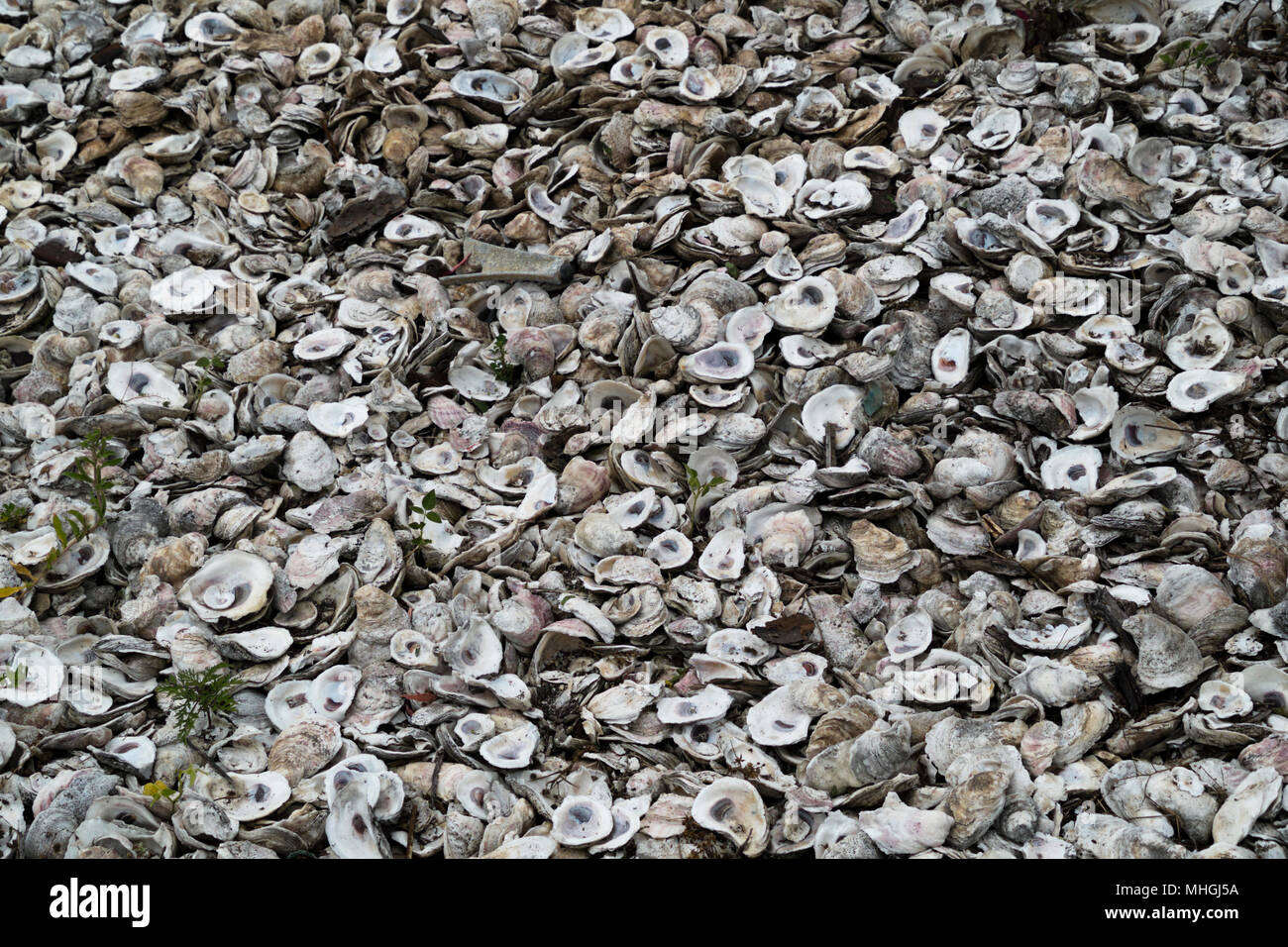 A Pile Of Discarded Oyster Shells Stock Photo 182918326 Alamy
