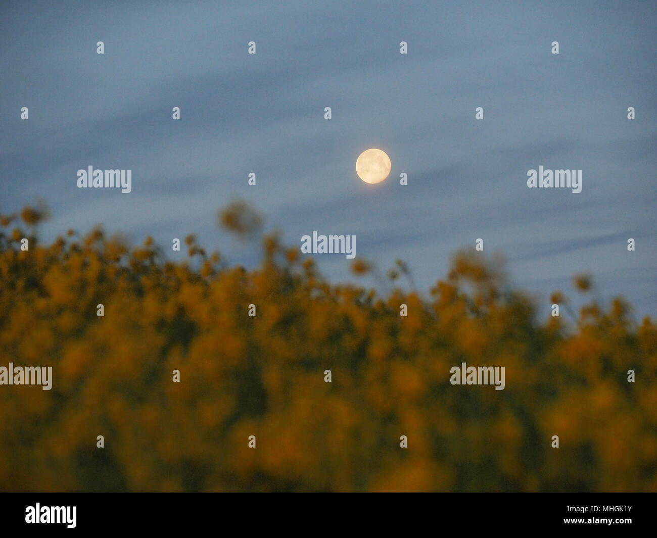Isle of Sheppey, Kent, UK. 1st May, 2018. UK Weather: the full moon setting over a rapeseed field on the Isle of Sheppey at dawn. Credit: James Bell/Alamy Live News Stock Photo