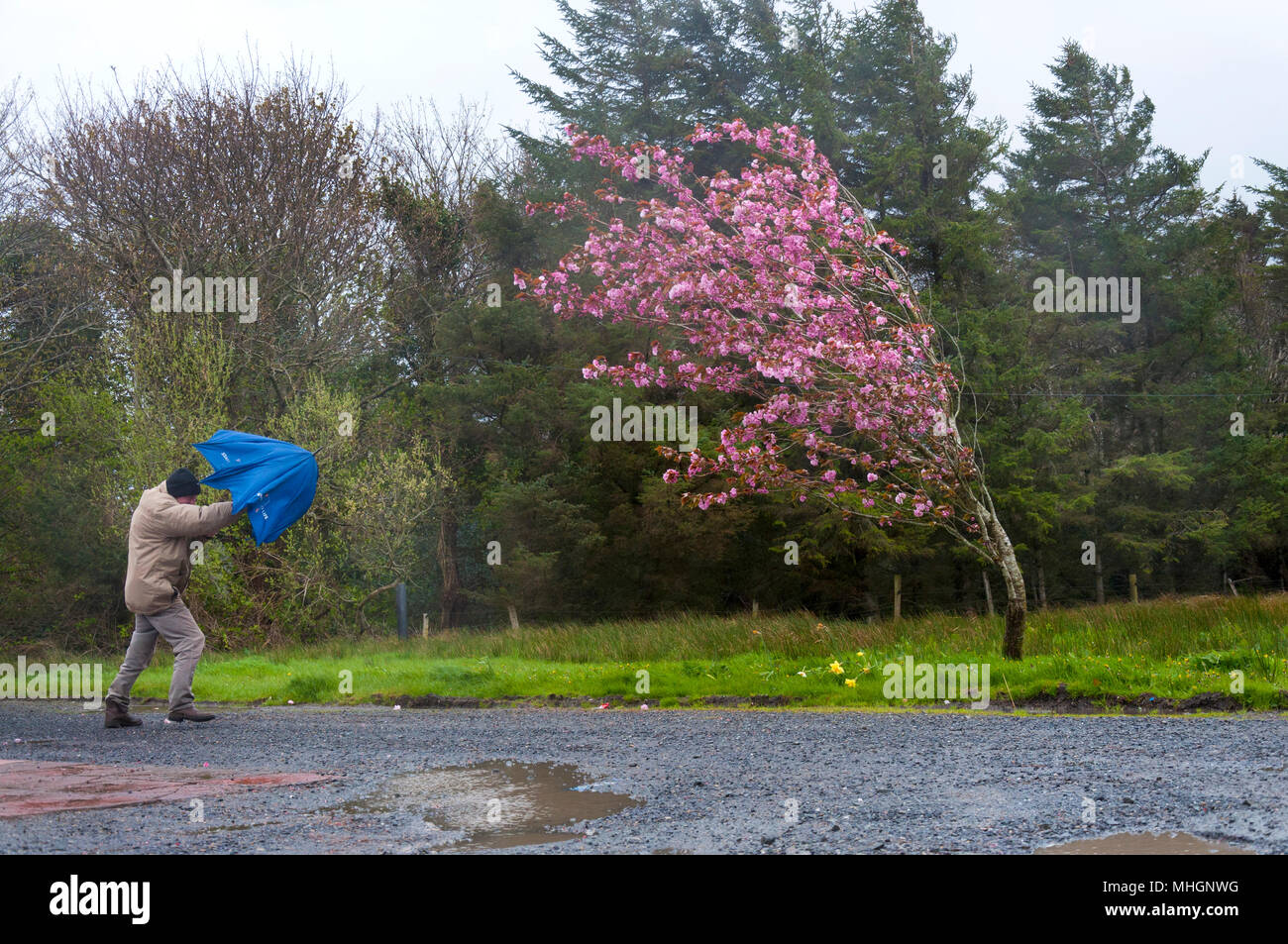 Ardara, County Donegal, Ireland weather. 1st May 2018. A man struggles with an umbrella whilst taking a walk on a windy day with driving rain on Ireland's west coast. Credit: Richard Wayman/Alamy Live News Stock Photo
