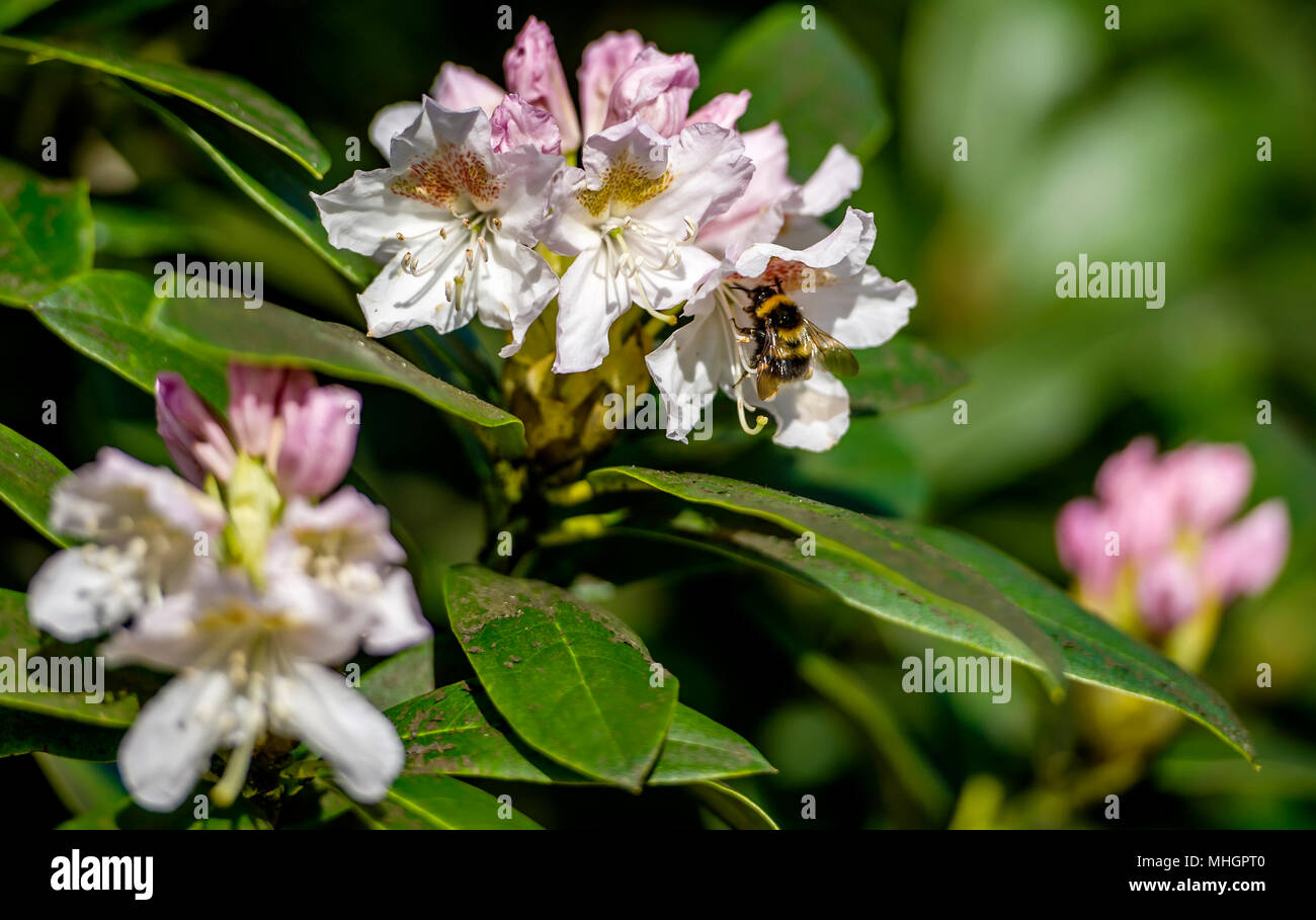 Moses Gate Country Park, Bolton. 1st May, 2018. UK Weather: A beautiful sunny May Day as temperatures begin to rise in Bolton ahead of the bank holiday weekend.  A bee busily collect pollen from the blooms of a rhododendron bush in Queen's Park, Bolton. Picture by Paul Heyes, Monday May 1st, 2018. Credit: Paul Heyes/Alamy Live News Stock Photo
