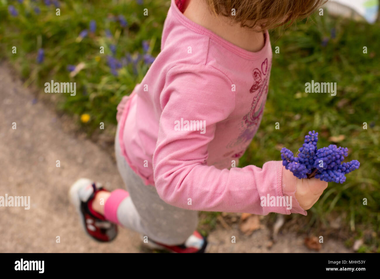 A little girl holds a bouquet of  purple hyacinths flowers in the spring. - Stock Image