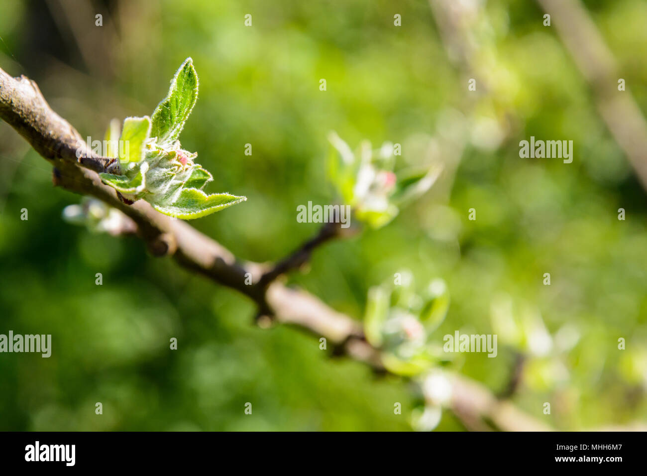 Close-up view of apple tree buds about to hatch at springtime, with a shalow depth of field against a blurry green background by a sunny day. - Stock Image
