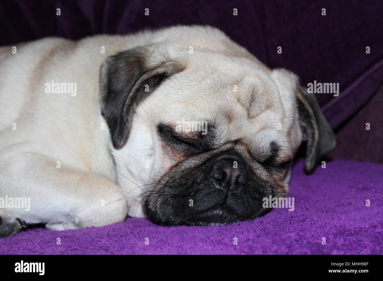 A one year old male Pug dog asleep - Stock Image
