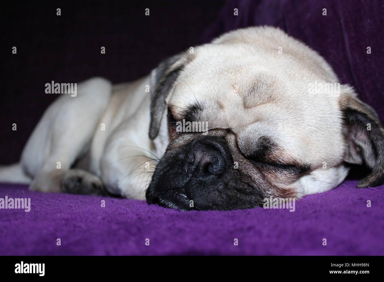 A one year old male Pug dog asleep Stock Photo