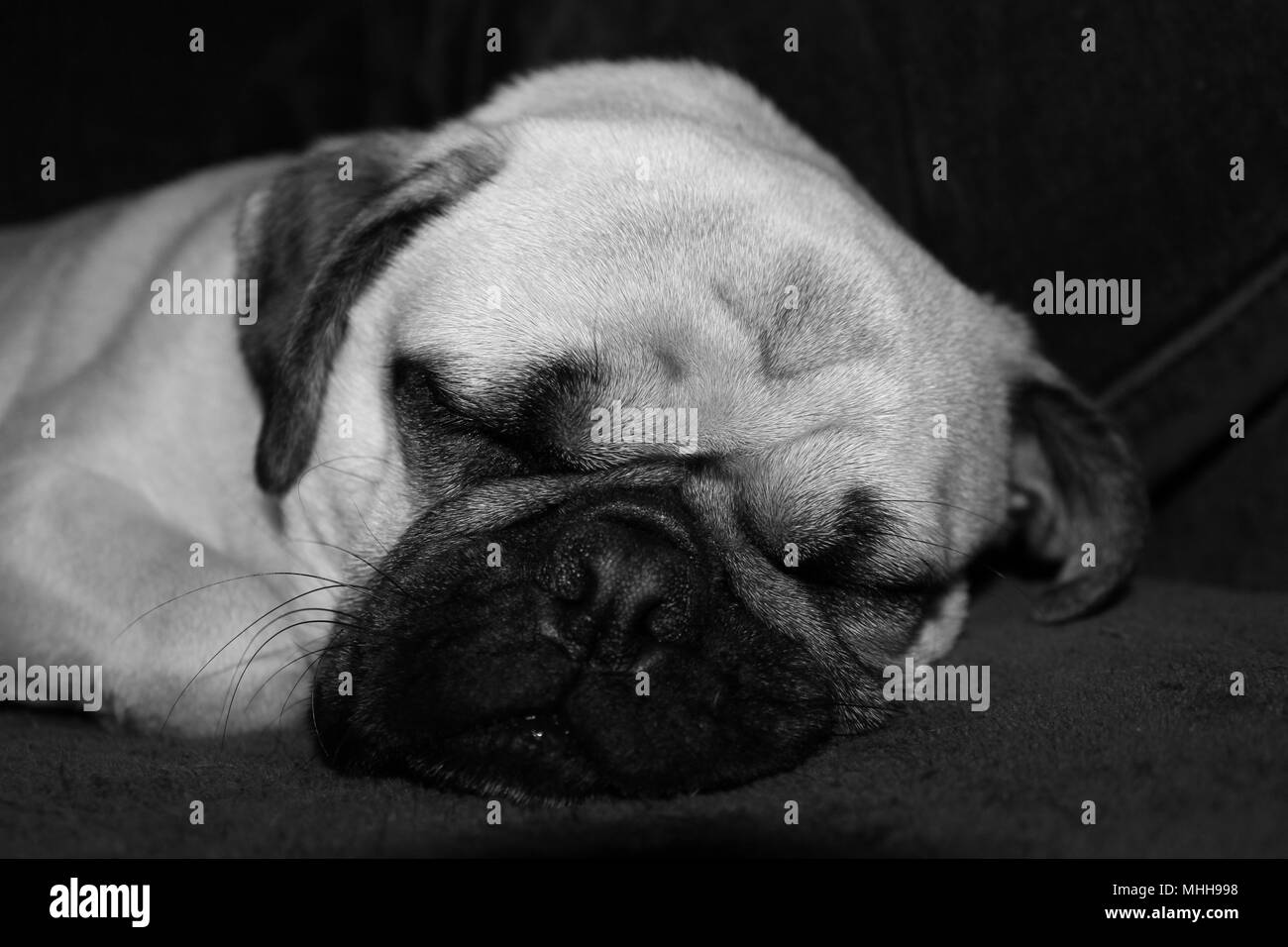 Black and white photo of a one year old male Pug dog asleep. - Stock Image