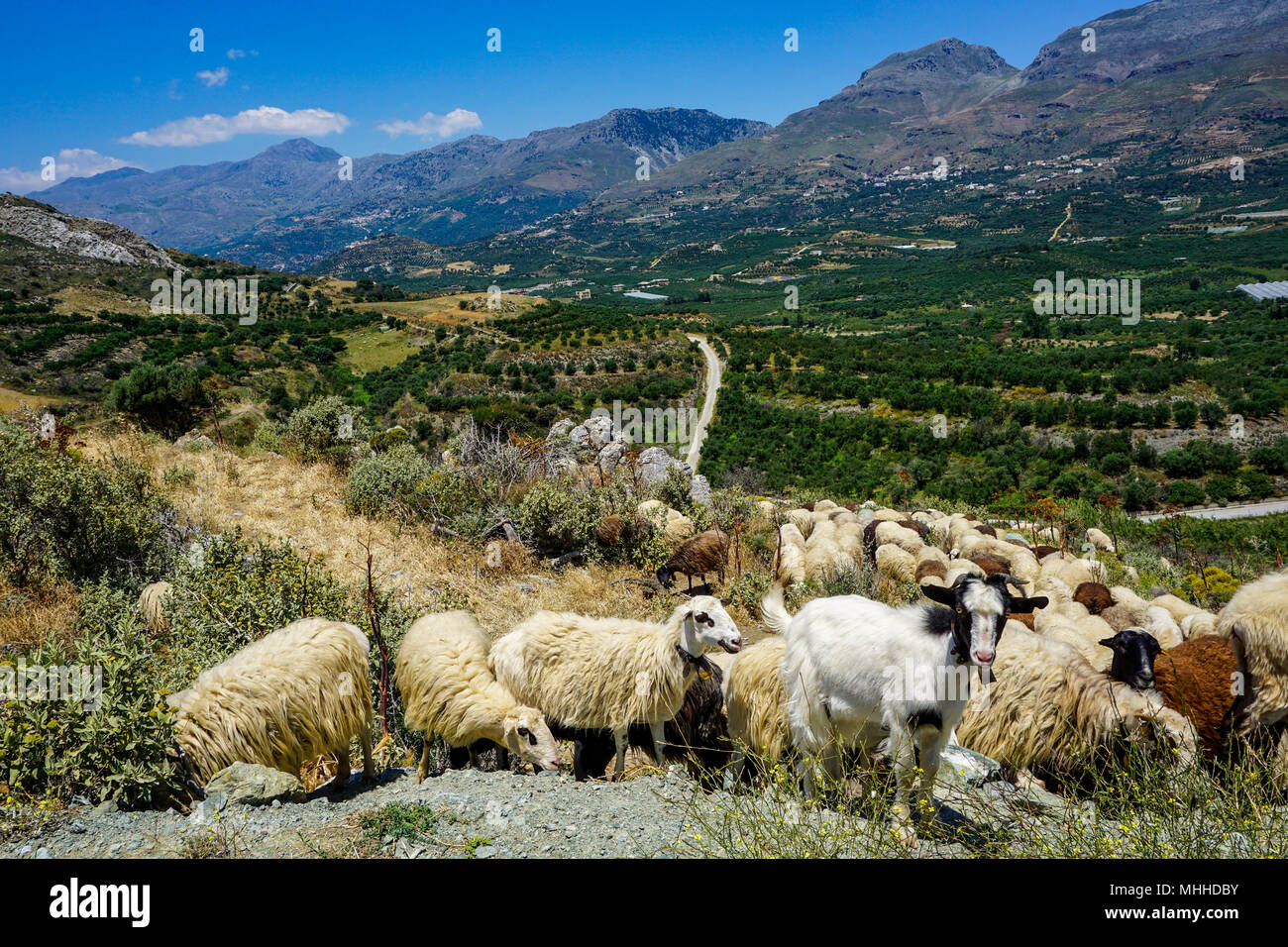 Herd of goats overlooking scenic valley in southern Crete near Lefkogia Stock Photo