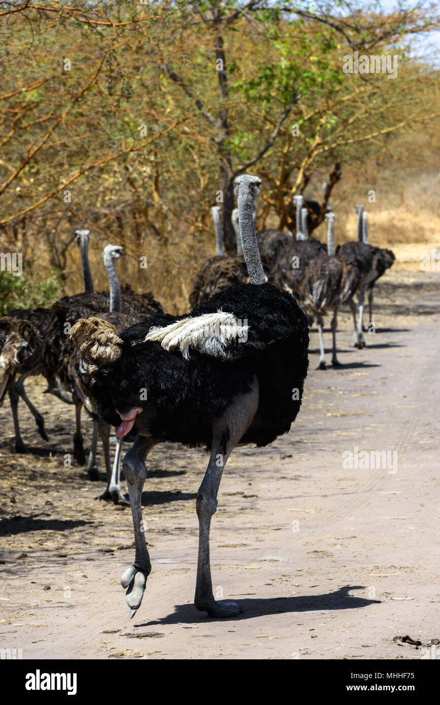 Group of ostriches is running over the sand - Stock Image