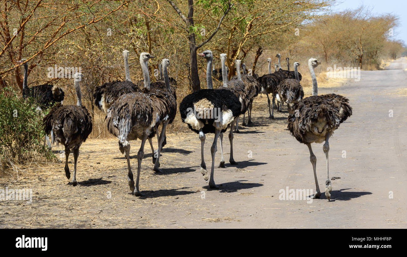 Ostriches of Africa - Stock Image