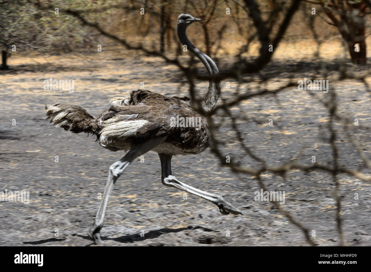 Ostrich runs over the ground in Senegal - Stock Image