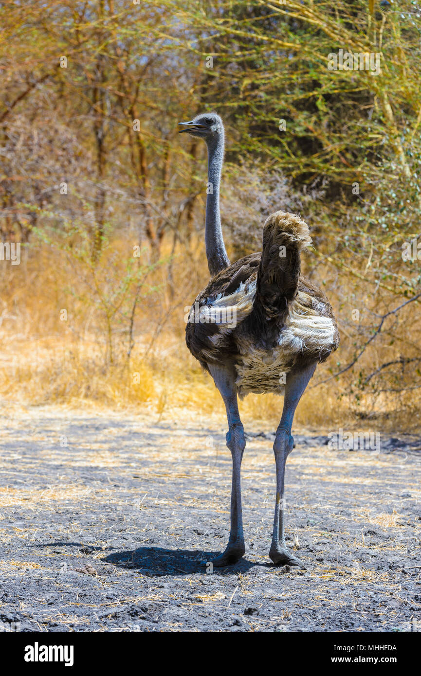 African ostrich from behind - Stock Image