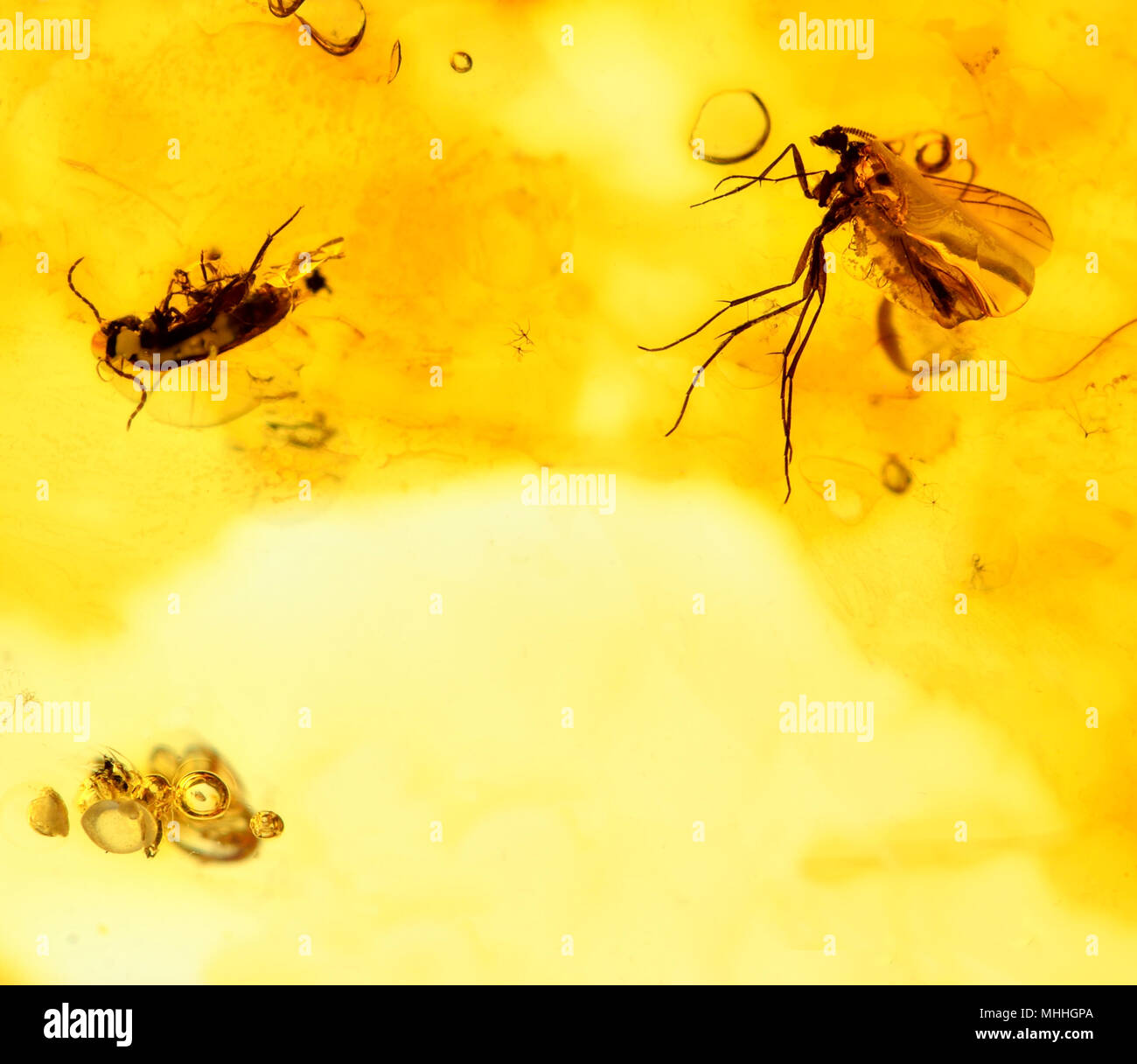 Prehistoric flies preserved in Baltic amber - Stock Image