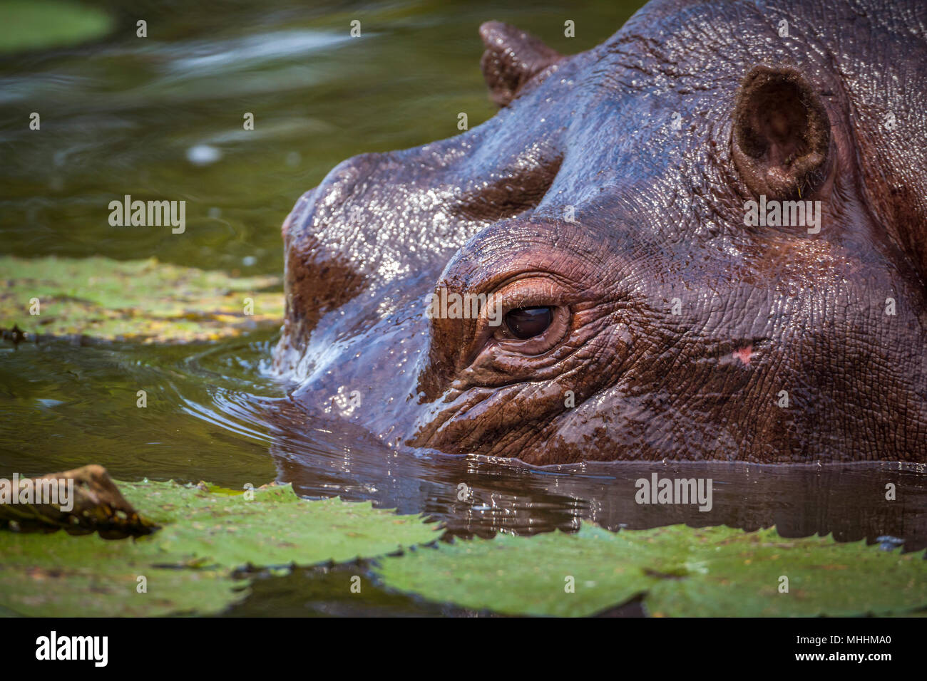 Hippopotamusin Kruger national park, South Africa ; Specie Hippopotamus amphibius family of Hippopotamidae - Stock Image