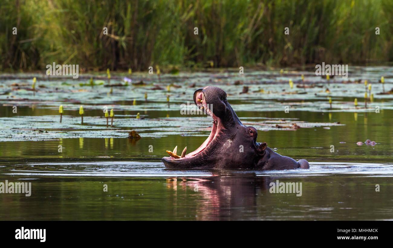 Hippopotamusin Kruger national park, South Africa ; Specie Hippopotamus amphibius family of Hippopotamidae - Stock Image