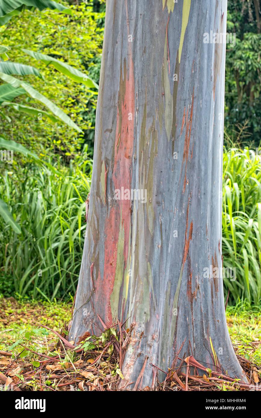 hawaiian gum tree colorful bark, Most Beautiful Tree on Earth Stock ...