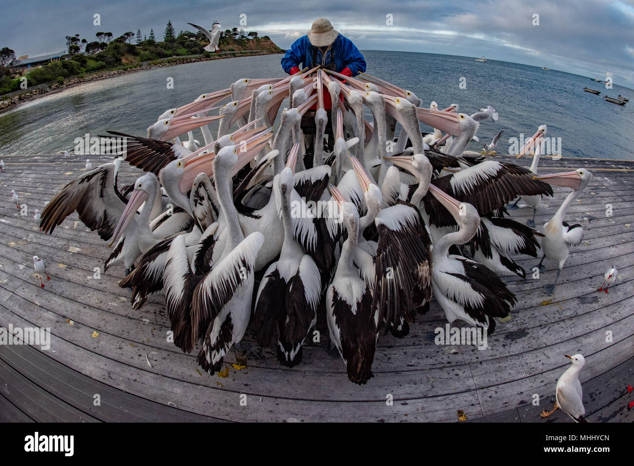 Man while feeding pelicans in Kangaroo Island australia Stock Photo