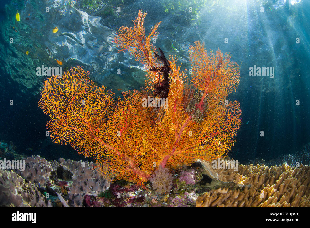 A beautiful sea fan grows in the shallows of Raja Ampat, Indonesia. This tropical region is known as the heart of the Coral Triangle. Stock Photo