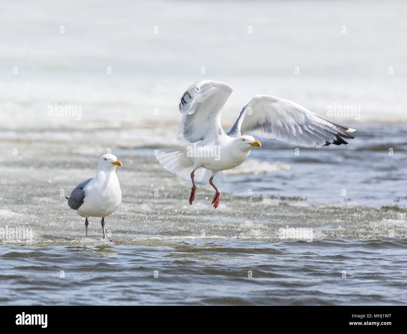 Common Gulls (Larus canus), or Mew Gulls, taking flight, Fortwhyte, Manitoba, Canada. - Stock Image